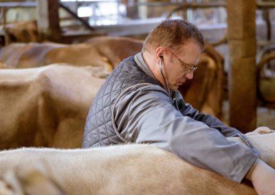 Schlachtung tragender Kühe vermeiden